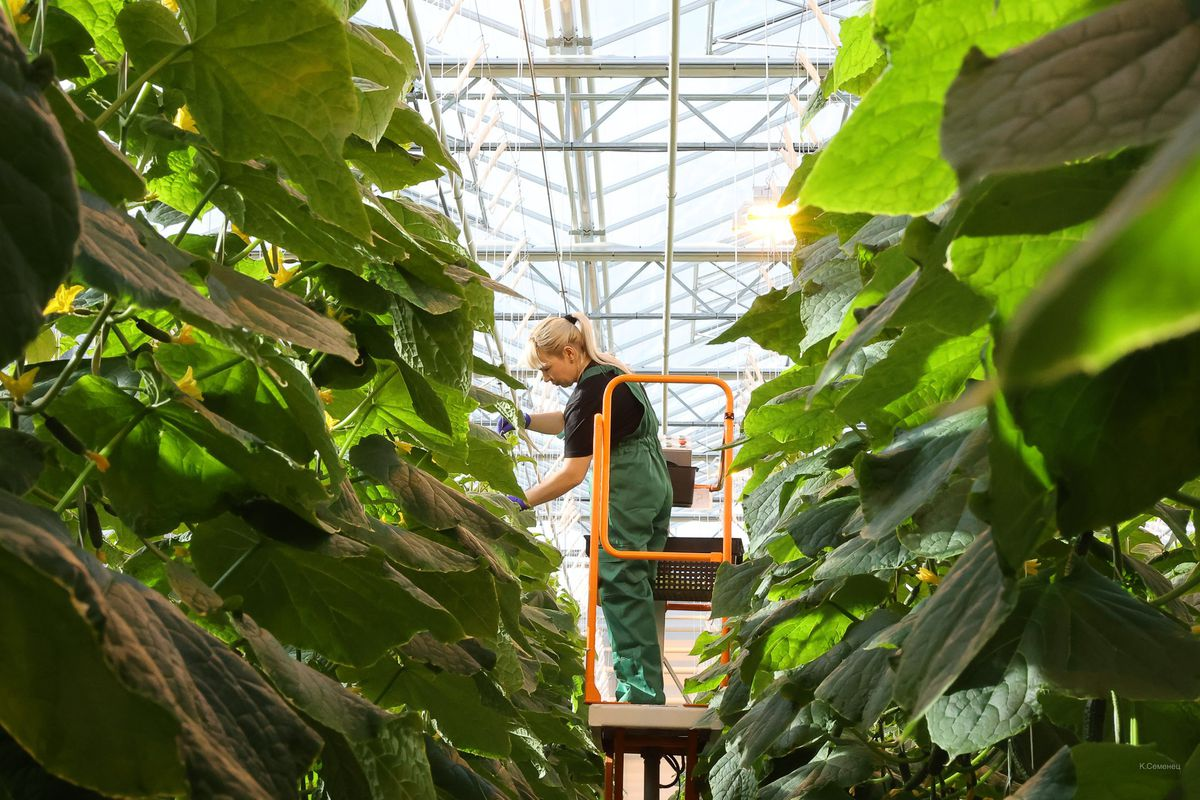 Андрей Воробьев губернатор московской области - Овощи без химикатов. В тепличном комплексе в Серпухове собрали первый урожай